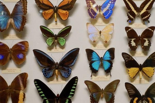ラ・スペーコラ 蝶々