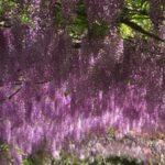 花咲くフィレンツェ散歩・バルディーニ庭園とバラ、アヤメ庭園