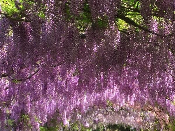 フィレンツェ 藤 バルディーニ庭園