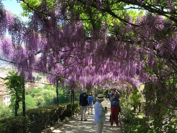 藤棚 フィレンツェ バルディーニ庭園