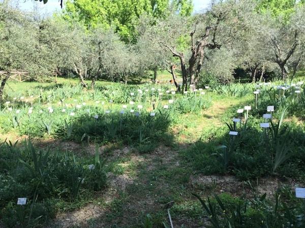アヤメ庭園